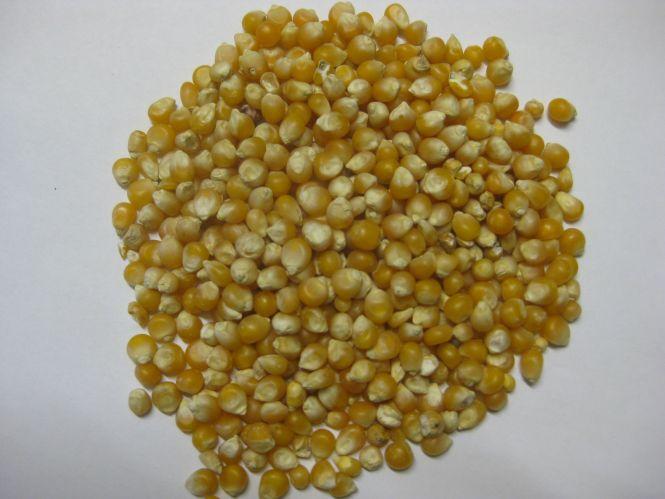 Mais Popcornmais - Spinne 25kg